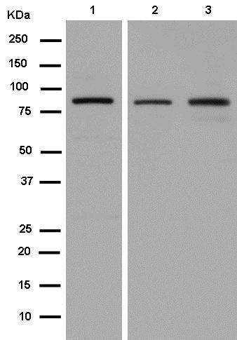 Western blot - Anti-Cullin 5/CUL-5 antibody [EPR14725] - BSA and Azide free (ab240281)