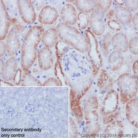 Immunohistochemistry (Formalin/PFA-fixed paraffin-embedded sections) - Anti-Fos B antibody [EPR15905] - BSA and Azide free (ab240288)