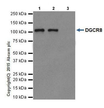 Immunoprecipitation - Anti-DGCR8 antibody [EPR18757] - BSA and Azide free (ab240325)