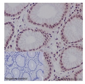 Immunohistochemistry (Formalin/PFA-fixed paraffin-embedded sections) - Anti-CDCA5 antibody [EPR16331] - BSA and Azide free (ab240328)