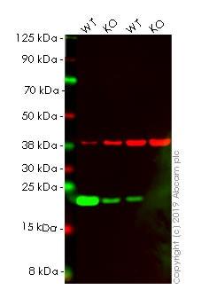 Western blot - Anti-Caveolin-1 antibody [EPR15554] - BSA and Azide free (ab240332)