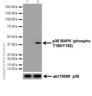 Western blot - Anti-p38 (phospho T180) antibody [EPR18120] - BSA and Azide free (ab240335)