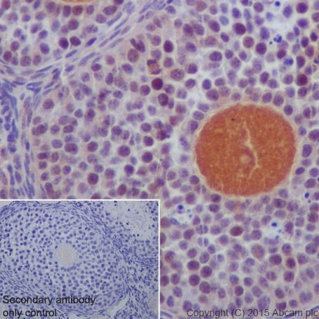 Immunohistochemistry (Formalin/PFA-fixed paraffin-embedded sections) - Anti-DCAF13 antibody [EPR18723] - BSA and Azide free (ab240337)
