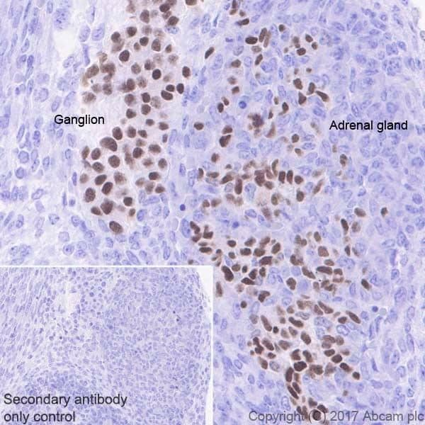 Immunohistochemistry (Formalin/PFA-fixed paraffin-embedded sections) - Anti-HAND2 antibody [EPR19451] - BSA and Azide free (ab240353)