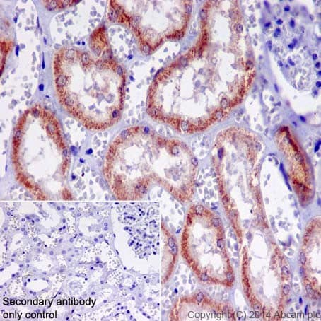 Immunohistochemistry (Formalin/PFA-fixed paraffin-embedded sections) - Anti-A RAF antibody [EPR16208] - BSA and Azide free (ab240354)