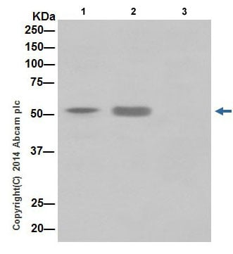Immunoprecipitation - Anti-KAT8 / MYST1 / MOF antibody [EPR15803] - BSA and Azide free (ab240355)