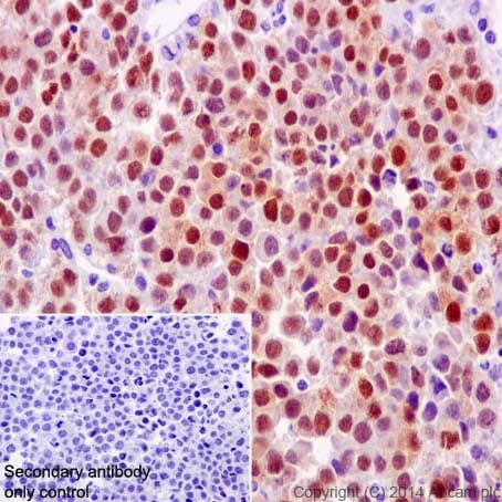 Immunohistochemistry (Formalin/PFA-fixed paraffin-embedded sections) - Anti-Oct4 antibody [EPR17980] - BSA and Azide free (ab240358)