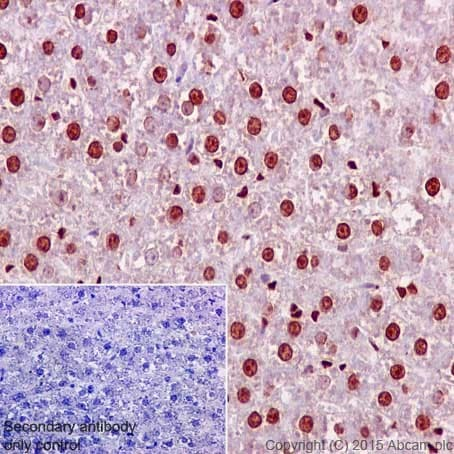 Immunohistochemistry (Formalin/PFA-fixed paraffin-embedded sections) - Anti-Aly/Ref antibody [EPR17942] - BSA and Azide free (ab240364)
