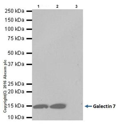 Immunoprecipitation - Anti-Galectin 7 antibody [EPR19903] - BSA and Azide free (ab240374)
