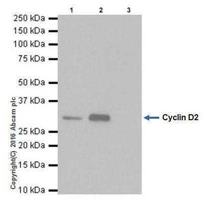 Immunoprecipitation - Anti-Cyclin D2 antibody [EPR19659] - BSA and Azide free (ab240377)