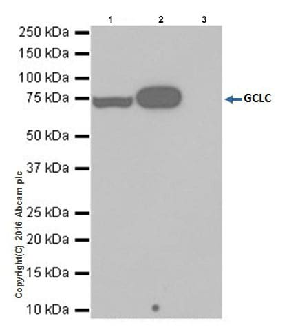 Immunoprecipitation - Anti-GCLC antibody [EPR20078] - BSA and Azide free (ab240379)