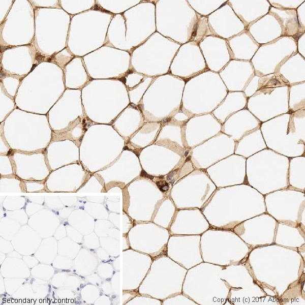 Immunohistochemistry (Formalin/PFA-fixed paraffin-embedded sections) - Anti-Adipose Triglyceride Lipase antibody [EPR19650] - BSA and Azide free (ab240381)