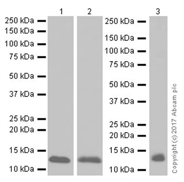 Western blot - Anti-Hemoglobin subunit beta/ba1 antibody [EPR20614] - BSA and Azide free (ab240390)