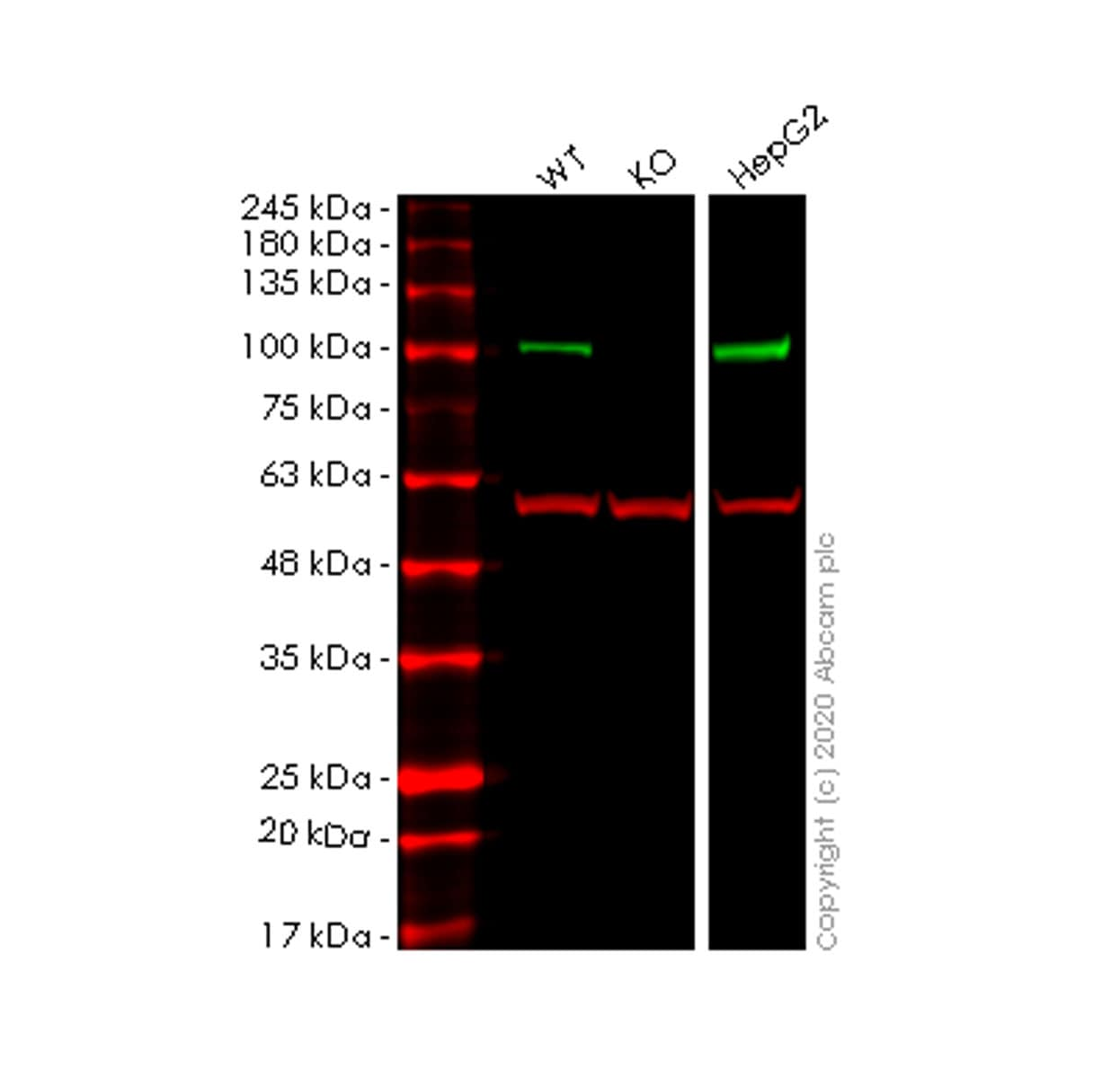 Western blot - Anti-PEG10/EDR antibody [EPR20051] - BSA and Azide free (ab240392)
