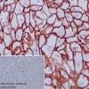 Immunohistochemistry (Formalin/PFA-fixed paraffin-embedded sections) - Anti-Aquaporin 3 antibody [EPR19932] - BSA and Azide free (ab240393)