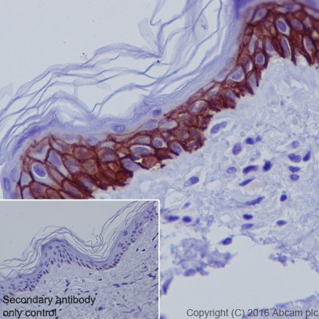 Immunohistochemistry (Formalin/PFA-fixed paraffin-embedded sections) - Anti-Aquaporin 3 antibody [EPR19932] - BSA and Azide free (ab240393)