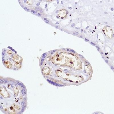 Immunohistochemistry (Formalin/PFA-fixed paraffin-embedded sections) - Anti-Hemoglobin subunit alpha antibody [SP212] - BSA and Azide free (ab240408)