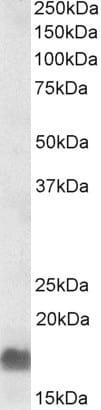 Western blot - Anti-EDF1 antibody (ab240426)