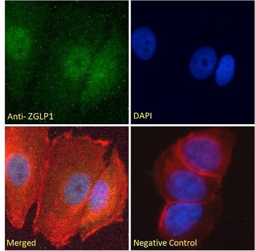 Immunocytochemistry/ Immunofluorescence - Anti-GLP-1 antibody (ab240494)