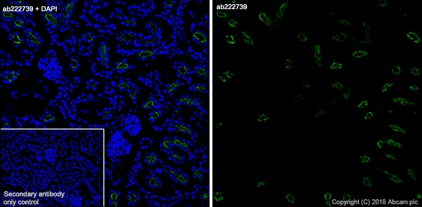 Immunohistochemistry (Frozen sections) - Anti-Angiotensin Converting Enzyme 1 antibody [EPR22250-204] - BSA and Azide free (ab240561)