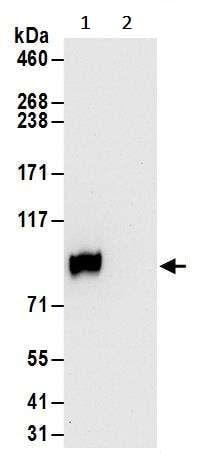 Immunoprecipitation - Anti-GRAM1DA antibody (ab240586)