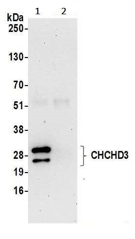 Immunoprecipitation - Anti-MIC19 antibody (ab240598)