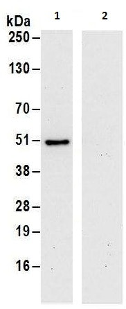 Immunoprecipitation - Anti-DAZAP1 antibody (ab240603)
