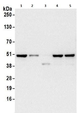 Western blot - Anti-DAZAP1 antibody (ab240603)
