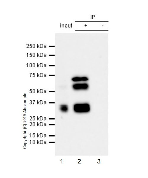 Immunoprecipitation - Anti-RUNX1 / AML1 antibody [EPR23044-100] (ab240639)