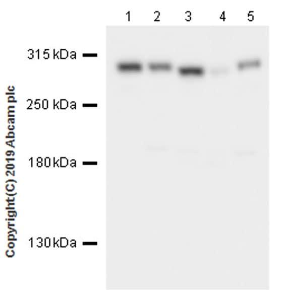 Western blot - Anti-CHD4 antibody [EPR22953-38] (ab240640)
