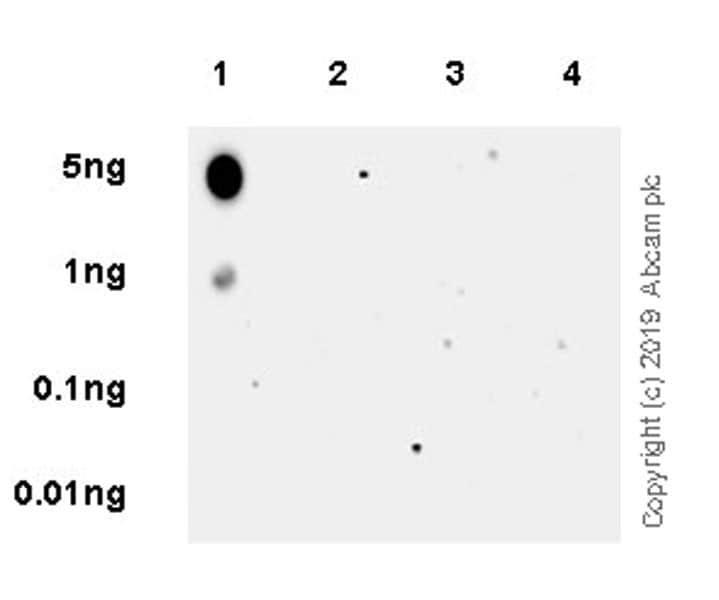 Dot Blot - Anti-HDAC5 (phospho S498) antibody [EPR22996-105] (ab240644)