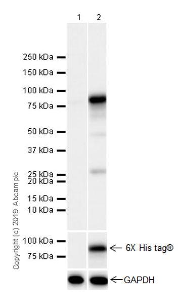 Western blot - Anti-GMEB1 antibody [EPR23056-62] (ab240646)