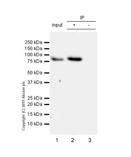 Immunoprecipitation - Anti-GMEB1 antibody [EPR23056-62] (ab240646)