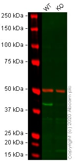 Western blot - Anti-alpha smooth muscle Actin antibody [1A4] - BSA and Azide free (ab240654)