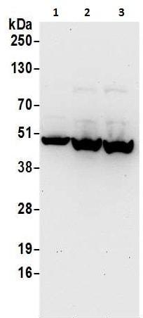 Western blot - Anti-PAICS/PAIS antibody (ab240743)