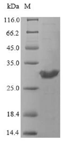 SDS-PAGE - Recombinant OPRT protein (Tagged) (ab240863)