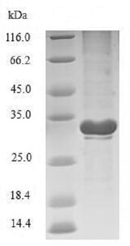 SDS-PAGE - Recombinant <em>E. coli </em> Transcriptional regulatory protein PhoP (Tagged) (ab240864)