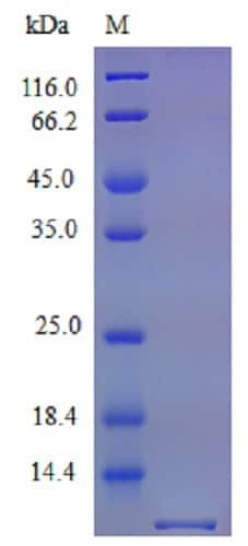 SDS-PAGE - Recombinant mouse CX3CL1 protein (Active) (ab240868)