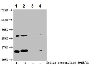 Western blot - Anti-Histone H2B (crotonyl K20) antibody (ab240892)