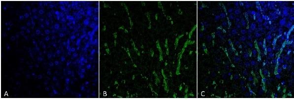 Immunohistochemistry (Formalin/PFA-fixed paraffin-embedded sections) - Anti-Citrulline antibody [6C2.1] (ab240908)