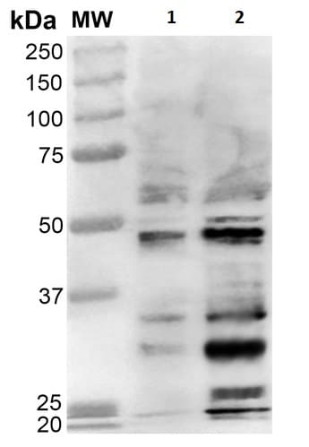 Western blot - Anti-Dibromotyrosine antibody [9F12] (ab240911)