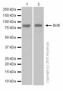 Western blot - Anti-Bcl6 antibody [EP529Y] - BSA and Azide free (ab240925)