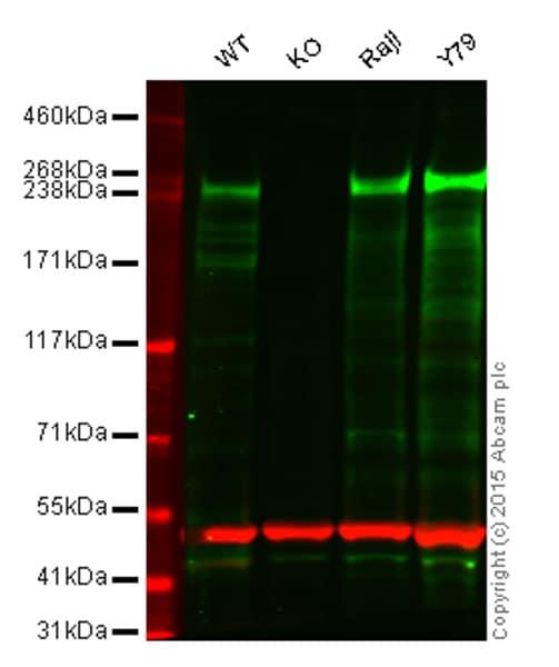 Western blot - Anti-CHD3 antibody [EPNCIR110A] - BSA and Azide free (ab240942)