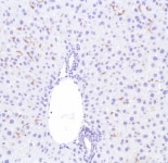 Immunohistochemistry (Formalin/PFA-fixed paraffin-embedded sections) - Anti-F4/80 antibody [SP115] - BSA and Azide free (ab240946)