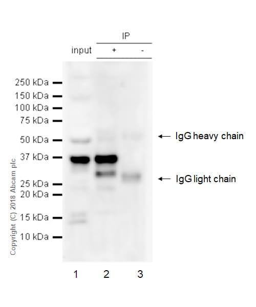 Immunoprecipitation - Anti-PIM2 antibody [EPR6987] - BSA and Azide free (ab240951)