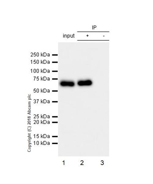 Immunoprecipitation - Anti-CRMP2 antibody [EPR7792] - BSA and Azide free (ab240952)