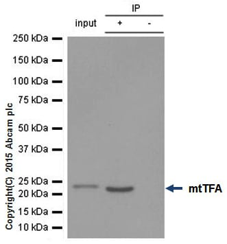 Immunoprecipitation - Anti-mtTFA antibody [EPR12285] - BSA and Azide free (ab240958)