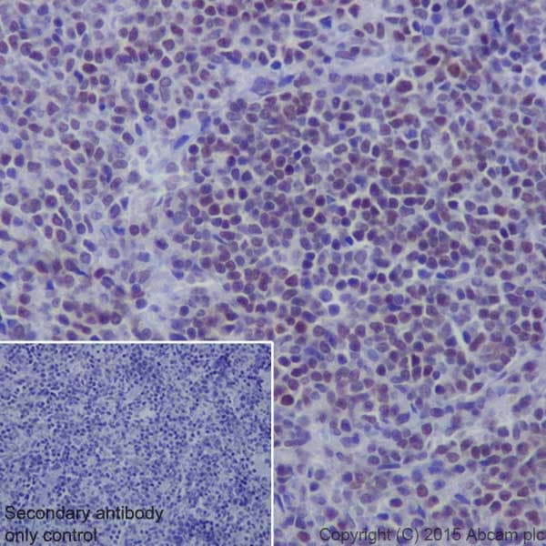 Immunohistochemistry (Formalin/PFA-fixed paraffin-embedded sections) - Anti-Oct-1 antibody [EPR16570] - BSA and Azide free (ab240959)