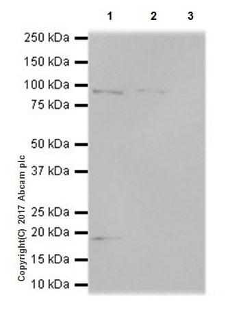 Immunoprecipitation - Anti-KMT6 / EZH2 antibody [EPR20108] - ChIP Grade – BSA and Azide free (ab240992)