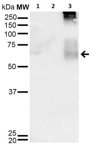 Western blot - Anti-Dibromotyrosine antibody [6G3] (ab241051)